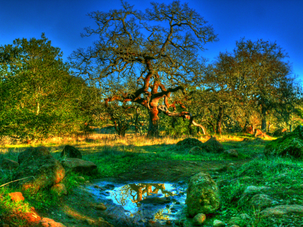 gnarly-tree-from-distance-annadel