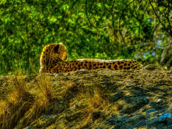 living-desert-cheetah1